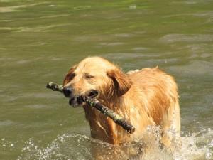 retriever botot hoz ki a folyóból