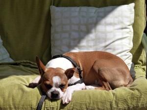 Boxer lustul a kanapén