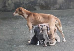 sovány kutya emlőin lógnak a kicsinyei